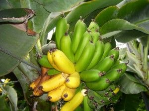 Bananas Are on the Brink of Extinction. Gene Editing Can Reverse That