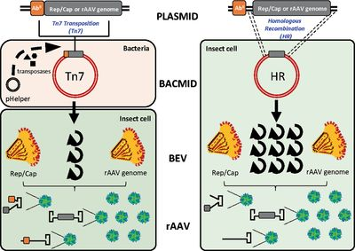 Homologous Recombination Offers Advantages over Transposition‐Based Systems to Generate Recombinant Baculovirus for Adeno‐Associated Viral Vector Production