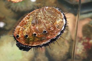 Iso-Seq Analysis Reveals Differential Expression in Male and Female Abalones