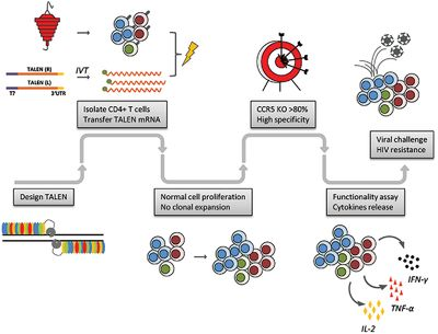Preclinical Evaluation of a Novel TALEN Targeting CCR5 Confirms Efficacy and Safety in Conferring Resistance to HIV‐1 Infection