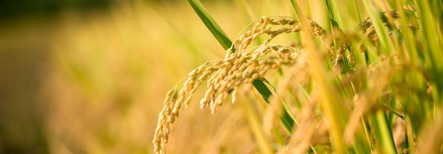 Could the Lifesaving Promises of Golden Rice FINALLY be Realized?