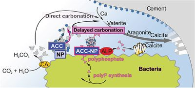 Amorphous Polyphosphate and Ca‐Carbonate Nanoparticles Improve the Self‐Healing Properties of both Technical and Medical Cements