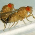 A Fruit Fly Love Story: The Making of a Mutant 2020