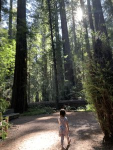 Transcriptome Provides A Closer Look Into Giant Redwood Genome