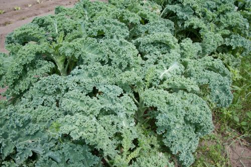 Lab explores link between genetic differences and domestication in kale