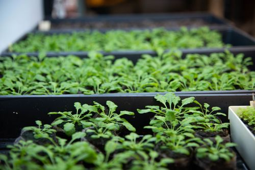 New observation from Stacey lab could help advance plant engineering