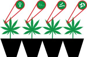Smoking out Structural Variants in the Cannabis Genome